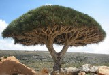 Socota dragon tree in Broom style