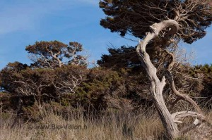 Twisted pines on Formentera