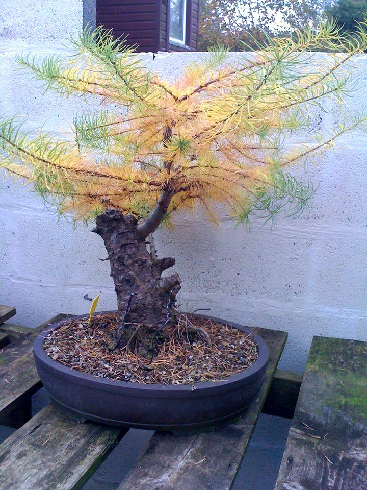 Larch_before