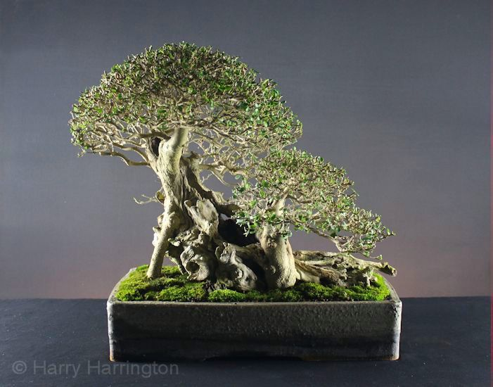 Bonsai Privet by Harry Harrington